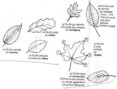 Comment reconnaitre un arbre avec une feuille - Reconnaitre les arbres par leur tronc ...